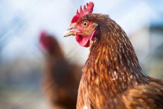 تولید تخم مرغ در افریقا