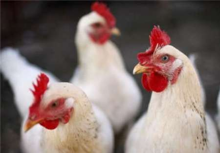 رفع ممنوعیت واردات مرغ و تخم مرغ عربستان سعودی