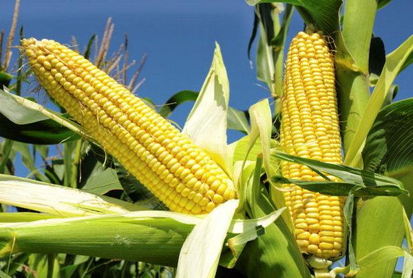 تولید کشاورزی ایران به منابع ژنتیکی خارجی