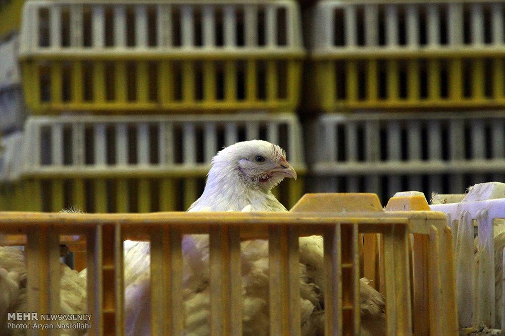 انتقال مرغ زنده
