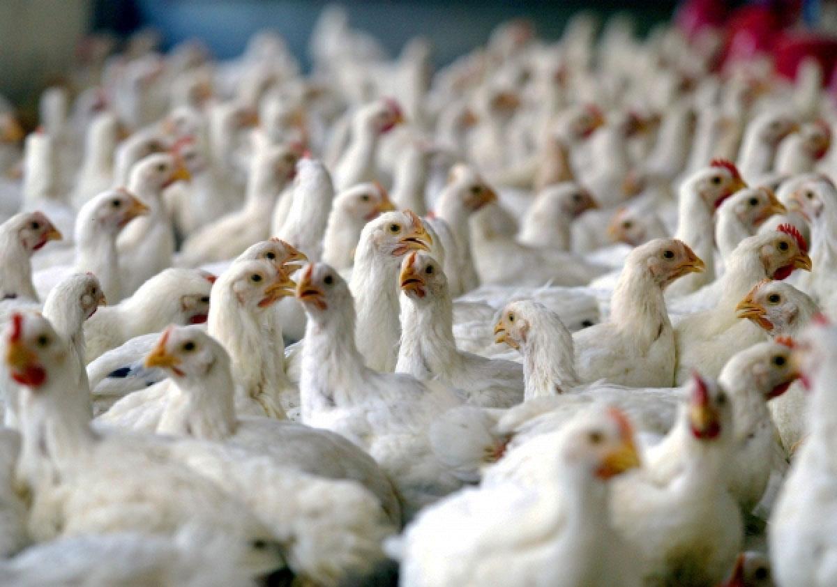 پرورش دهندگان مرغ گوشتی