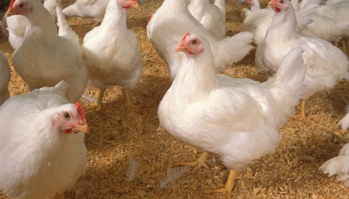 مرغداران هنوز کالای خود را به قیمت واقعی نمی فروشند