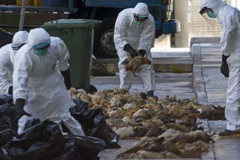 یک میلیون قطعه مرغ آلوده