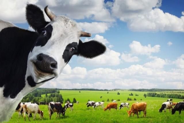 انتشار گاز متان توسط گاوها