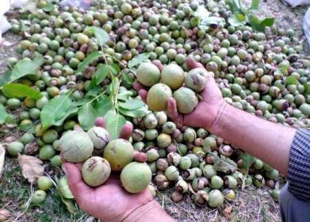 ایران سومین تولیدکننده گردو