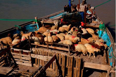 ممنوعیت صادرات دام زنده