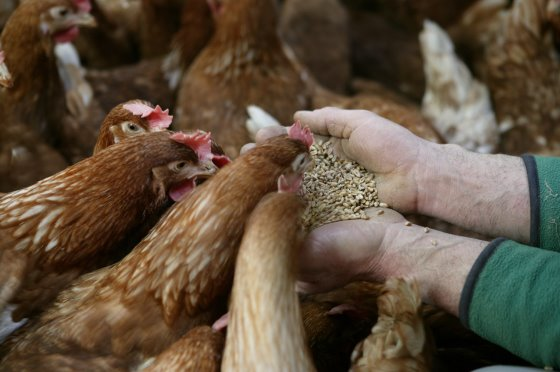 تولیدکنندگان تخم مرغ
