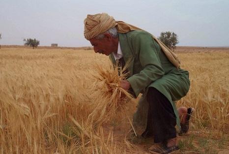 خرید تضمینی هر تن گندم تولیدی