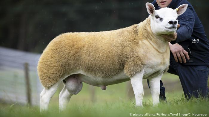 گرانترین گوسفند دنیا